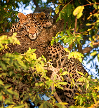 A leopard, Panthera pardus, lies in a tree, front paws flank hits head, alert, leaves in foreground, Londolozi Game Reserve, Sabi Sands, Greater Kruger National Park, South Africa
