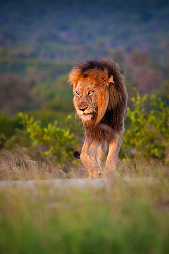 A male lion, Panthera leo, stands on green grass, lifts front leg, looking away, Londolozi Game Reserve, Sabi Sands, Greater Kruger National Park, South Africa