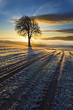 Tree on a Cultivated Field, Ross-shire, Scotland, UK
