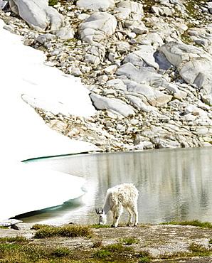 Goat grazing at still lake and remote hillside, Leavenworth, Washington, USA