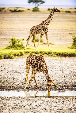 Giraffe drinking at water hole, Kenya, Africa