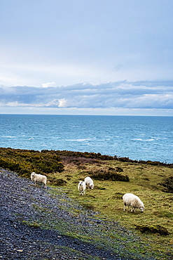 Sheep grazing on clifftop along the coastline of Pembrokeshire National Park, Wales, UK, Pembrokeshire National Park, Wales