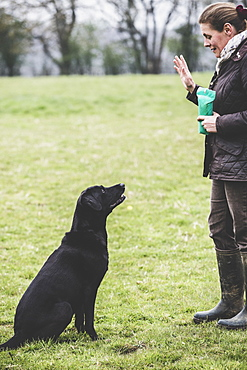 Woman standing outdoors in a field, a dog trainer giving hand command to Black Labrador dog, Oxfordshire, England