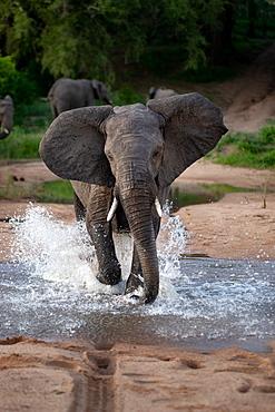An elephant, Loxodonta africana, runs through water towards camera, ears facing forward, splashes around legs, Londolozi Game Reserve, Sabi Sands, Greater Kruger National Park, South Africa
