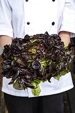 Close up of chef holding a bunch of green and purple lettuce