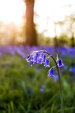 Close up of the blossom of a bluebell in a forest