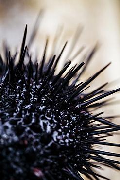 High angle close up fresh uni, sea urchin, Japan