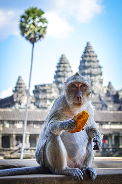Ankor Wat, a 12th century historic Khmer temple and UNESCO world heritage site. Monkey sitting on a balustrade eating fruit, Angkor Wat, Cambodia