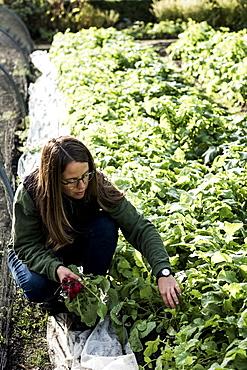 Female gardener kneeling beside a vegetable bed in a garden, inspecting plants, Oxfordshire, United Kingdom