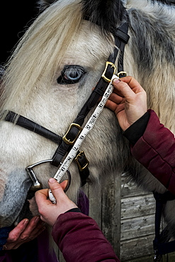 Close up of person measuring length of bridle cheek piece on white Cob horse, Berkshire, United Kingdom