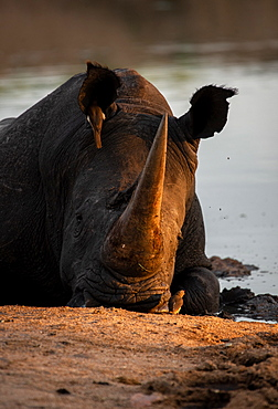 A white rhino, Ceratotherium simum, lies down in a waterhole, resting head on ground, sunset light, Londolozi Game Reserve, Sabi Sands, South Africa