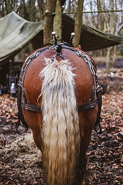 Rear view of brown Comtois horse with silver tail in a forest, Devon, United Kingdom