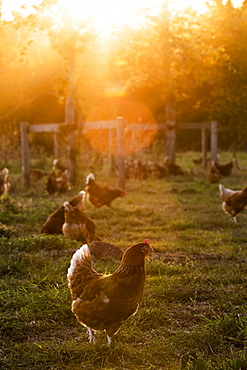 Free range chickens outdoors in early morning light on an organic farm