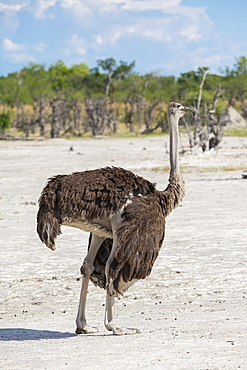 An ostrich on open ground