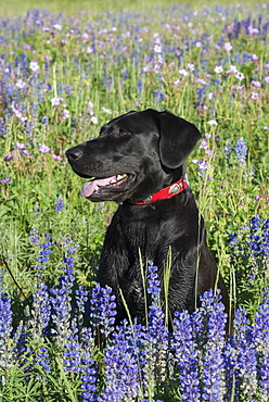 A black Labrador dog sitting in a field of tall grass and blue flowers, Wasatch National Forest, Utah, USA