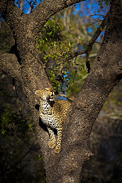 A female leopard, Panthera pardus, stands in the fork of a tree and gazes up, Sabi Sands, Greater Kruger National Park, South Africa
