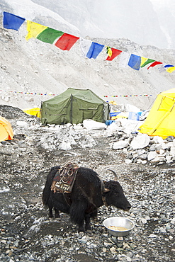 Yak eating from bowl at base camp on the lower slopes of the Everest range, Khumbu region, Nepal