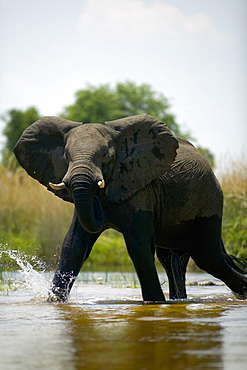 African Elephant, Loxodonta africana, wading through water, Okavango Delta, Botswana