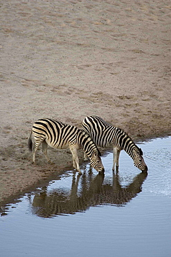 Burchell's Zebras drinking from water hole in the Moremi Reserve, Botswana