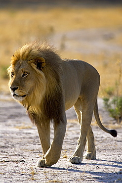 African lion, Panthera leo, male walking in the Moremi Reserve, Botswana, Africa