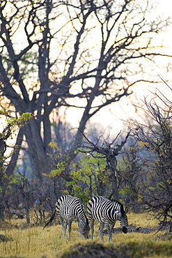 Two Burchell's Zebras grazing in the Moremi Reserve, Botswana