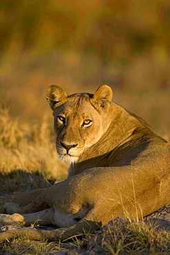 African lion, Panthera leo, female lying on ground, Moremi Reserve, Botswana, Africa