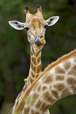 Close up of South African Giraffes, Camalopardalis Giraffa, Moremi Reserve, Botswana, Africa