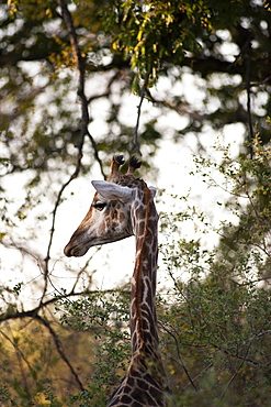 Close up of South African Giraffe, Camalopardalis Giraffa, Moremi Reserve, Botswana, Africa