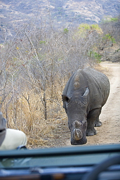 Rhinoceros confronting safari vehicle, Southern Africa