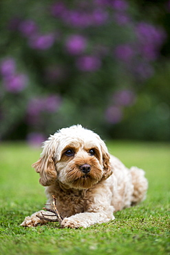 Portrait of a red coated young Cavapoo lying on a lawn, Watlington, Oxfordshire, United Kingdom