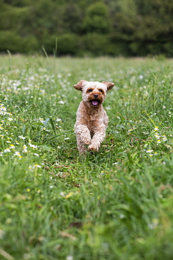 Portrait of a red coated young Cavapoo running in a meadow, Watlington, Oxfordshire, United Kingdom