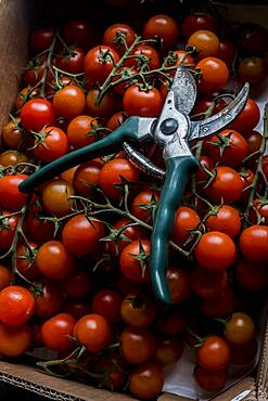High angle close up of freshly picked tomatoes on the vine and a pair of secateurs, Oxfordshire, United Kingdom