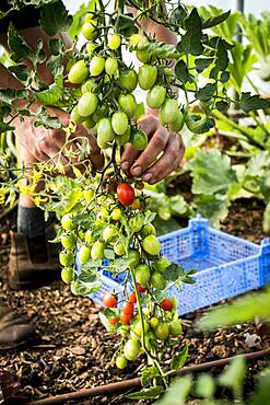 High angle close up of farmer picking vine tomatoes, Oxfordshire, United Kingdom