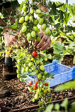 High angle close up of farmer picking vine tomatoes, Oxfordshire, United Kingdom