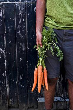 Close up of person holding bunch of freshly picked carrots, Oxfordshire, United Kingdom