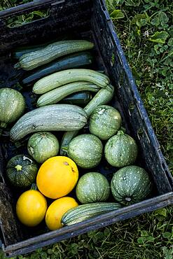 High angle close up of freshly picked yellow and green marrows and courgettes, Oxfordshire, United Kingdom