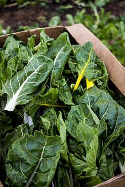 High angle close up of freshly picked leaf vegetables in cardboard box, Oxfordshire, United Kingdom