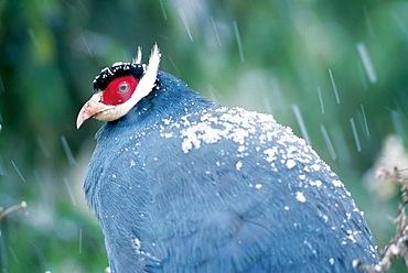 A blue eared pheasant