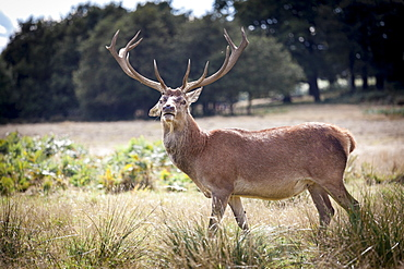 Deer, Richmond Park, Richmond, Surrey, England, United Kingdom, Europe