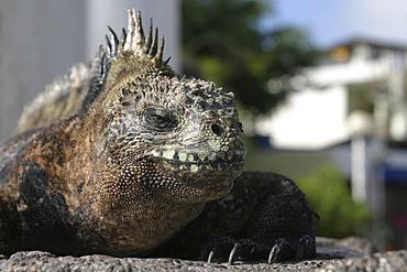 Marine Iguana. Galapagos.