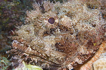 Scorpion fish. Caymans.