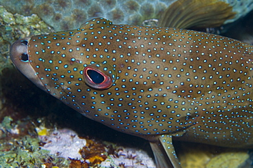 Conney fish. Caymans. - 1022-26