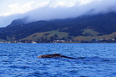 Endangered Southern right whale (Eubalaena australis) in Whangarei Horbour, Northland, New Zealand, South Pacific Ocean.