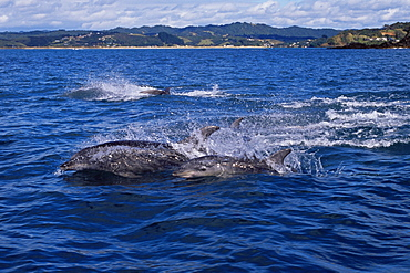 Bottlenose dolphins (Tursiops truncatus) fleeing from orca/killer whales (Orcinus orca) Tutukaka, North Island, New Zealand, South Pacific Ocean.