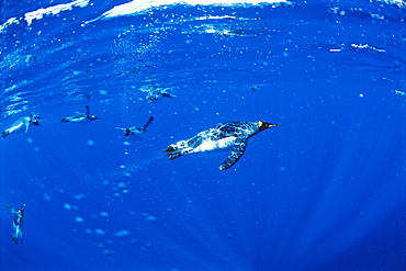 King penguins (Aptenodytes patagonicus)  Underwater, Macquarie Island, Australian sub-Antarctic.
