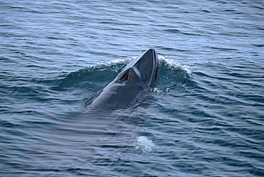 Minke whale (Balaenoptera acutorostrata) Iceland.