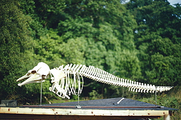 Risso's dolphin skeleton (Grampus griseus). Isle of Mull, Scotland