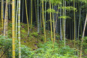 Bamboo Grove, Tenryuji Temple, Arashiyama, Kyoto, Japan, Asia