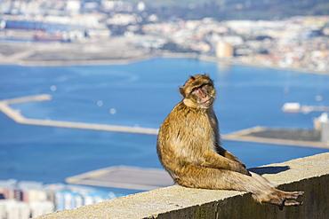 Gibraltar Barbary Ape, Gibraltar Rock, Gibraltar, Mediterranean, Europe