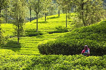 Tea pluckers, Nuwara Eliya, Central Province, Sri Lanka, Asia